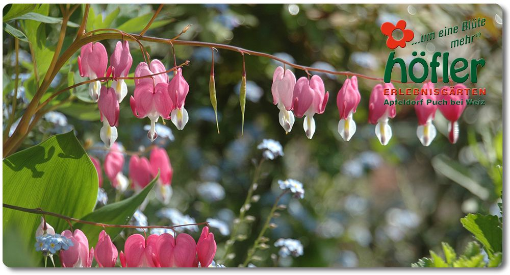 Dicentra Super Extra Plus 02 Web